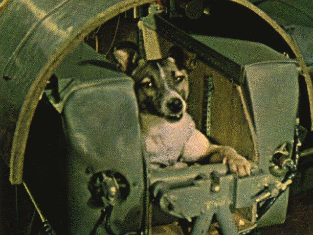Cadela Laika à bordo da sonda soviética Sputnik 2, lançada em 3 de novembro de 1957